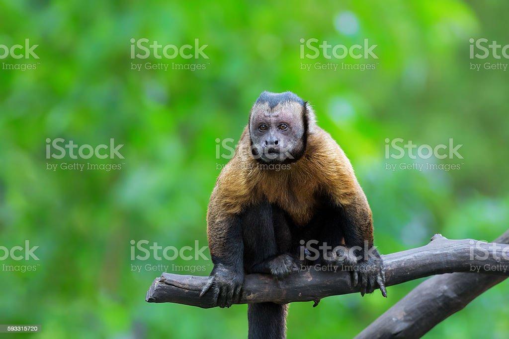 Brown Capuchin monkey stock photo
