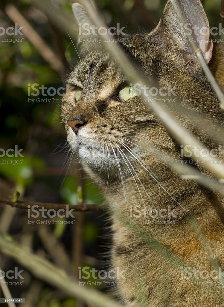 Brown cat in sunshine head shot behind branches royalty-free stock photo