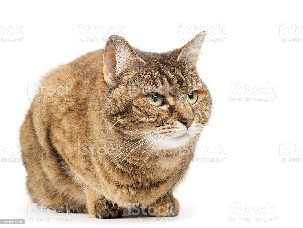 Brown cat on white stock photo