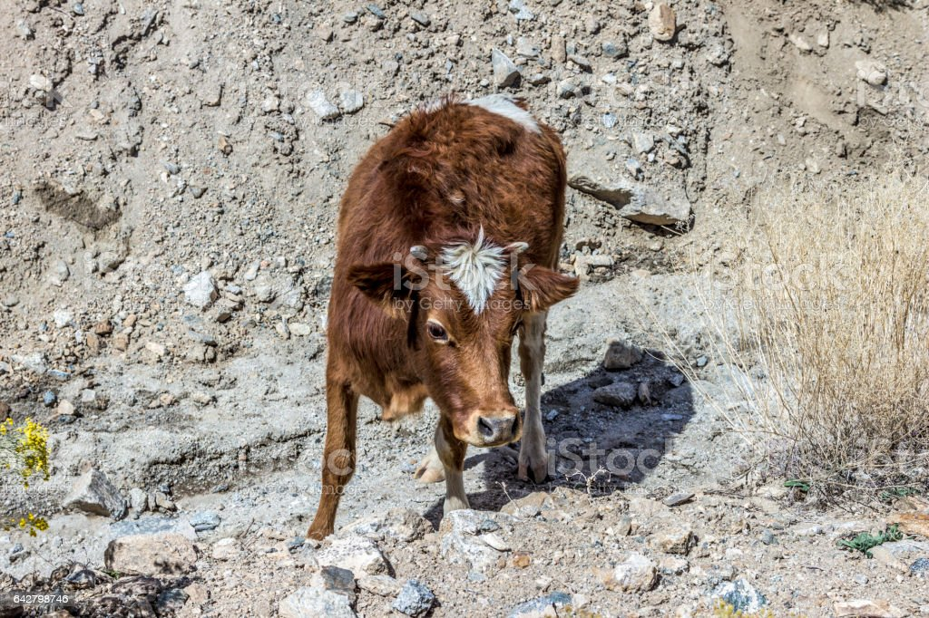 brown cattle grazes in the mountains of Ladakh stock photo