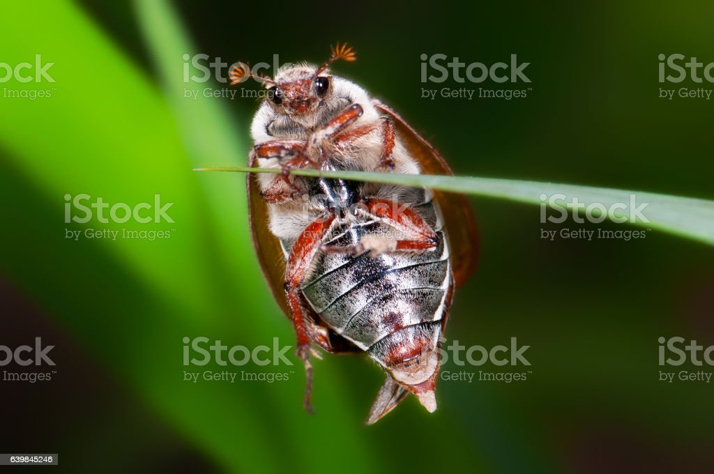 Brown chafer on the leaf (Cetonia aurata) stock photo