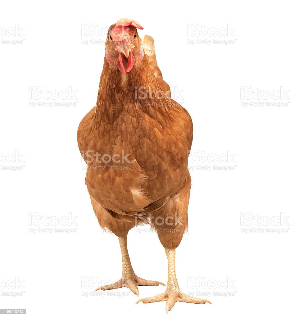 brown chicken isolated white background stock photo