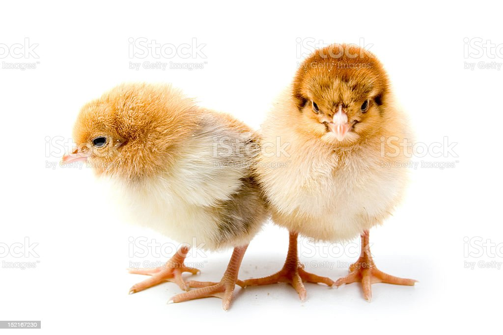 Brown chickens royalty-free stock photo