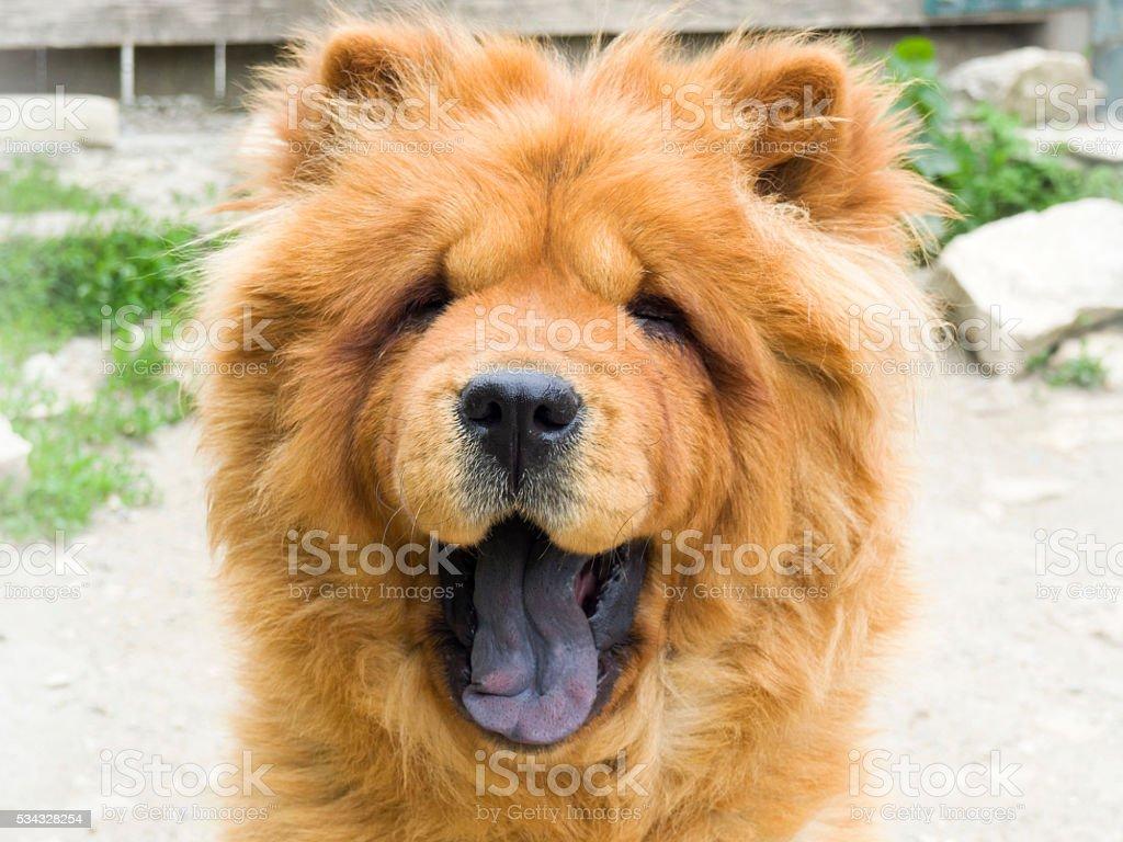 Brown chow chow dog stock photo
