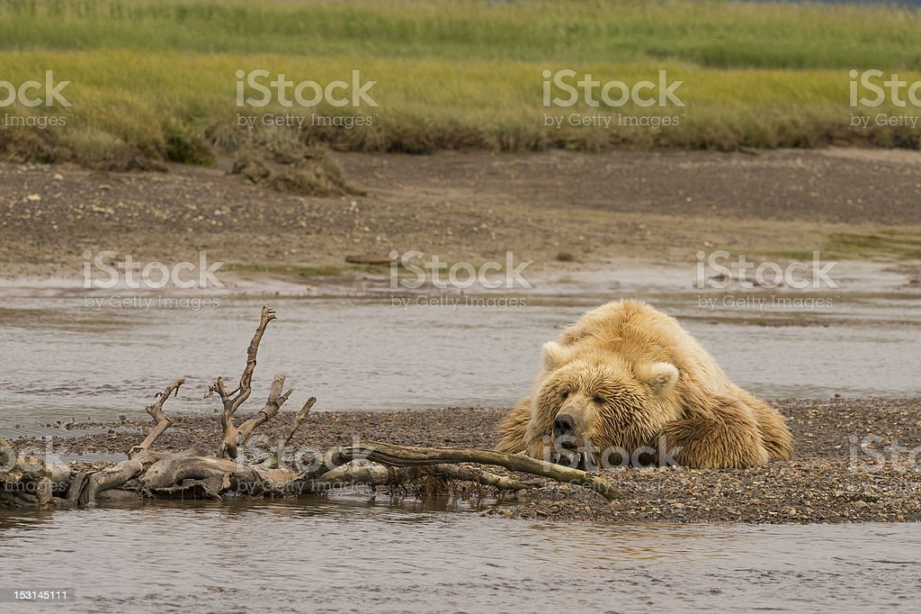 Brown Coastal Bear (Ursus arctos) stock photo