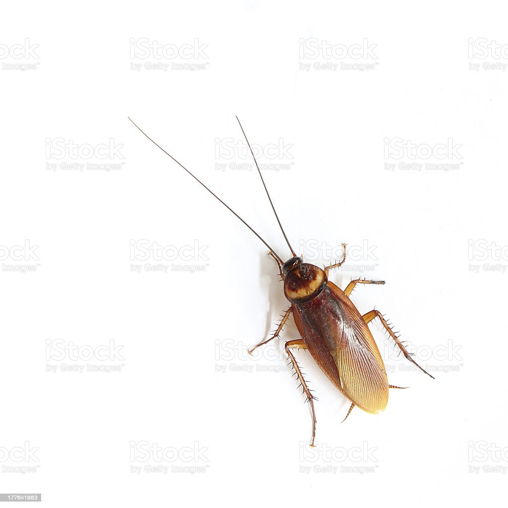 Brown cockroach isolated on white background royalty-free stock photo