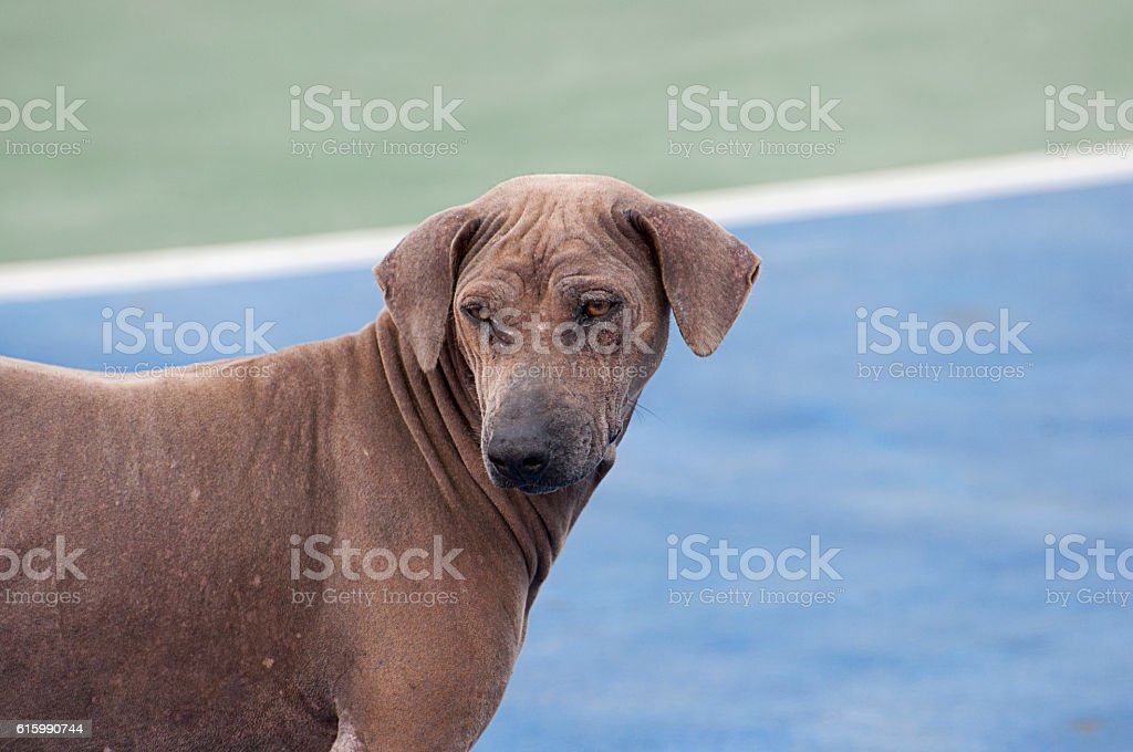 brown color of old scabby dogs. stock photo