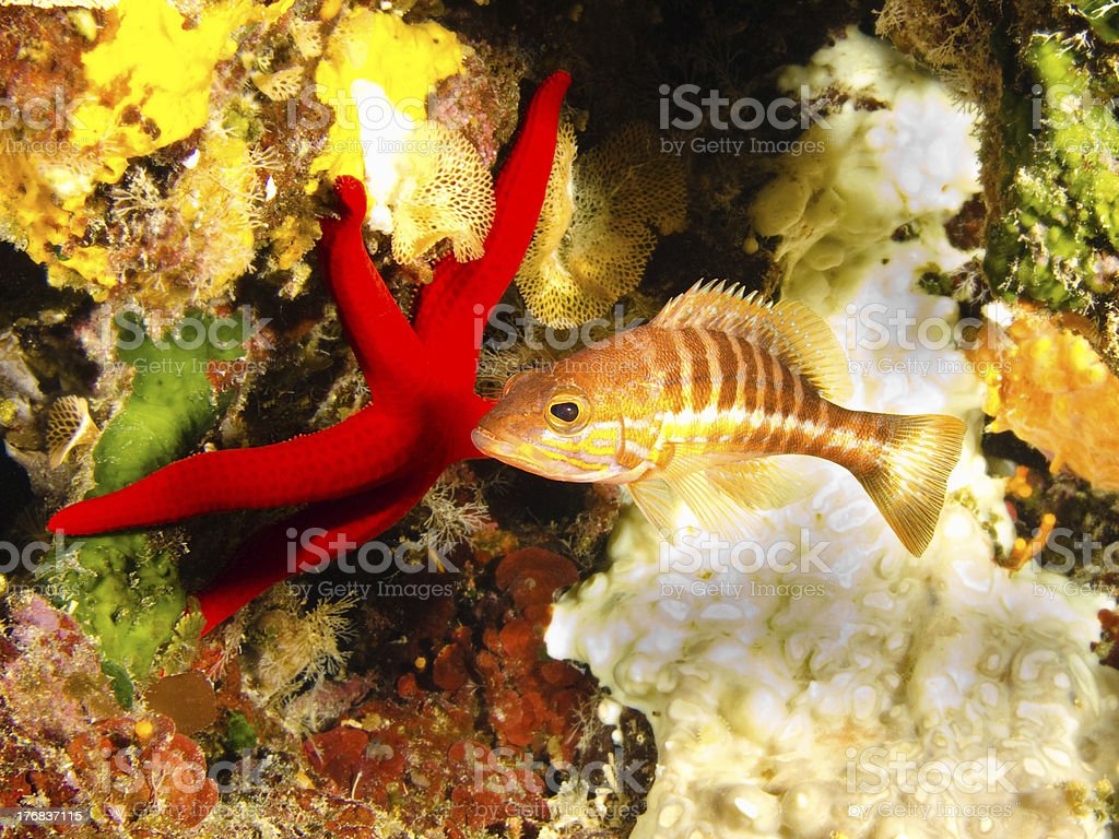 Brown comber with red starfish stock photo
