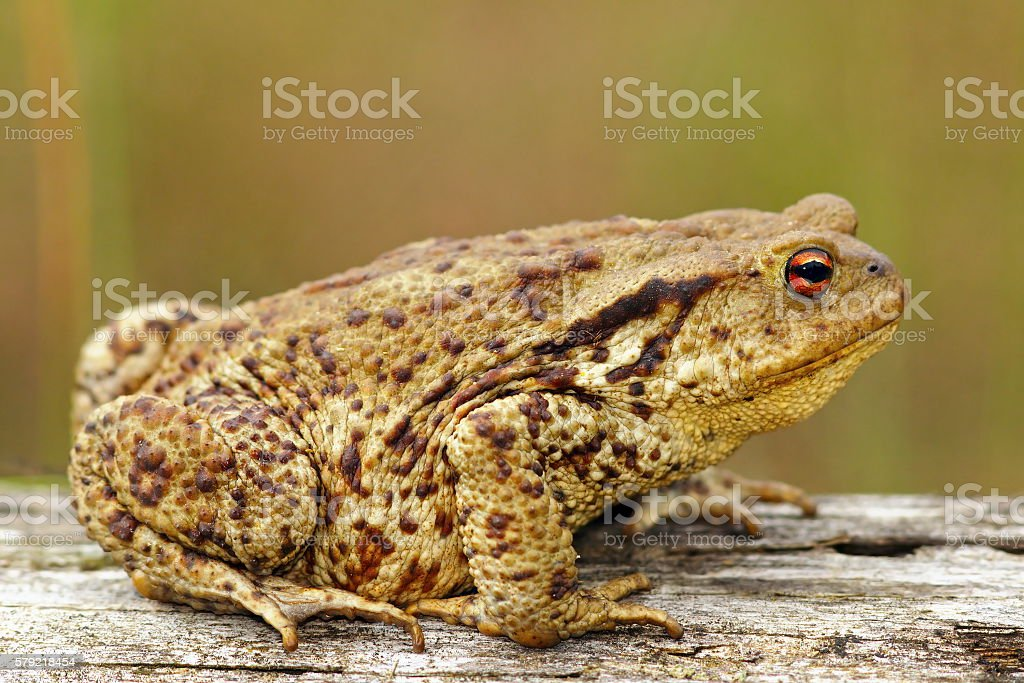 brown common toad stock photo