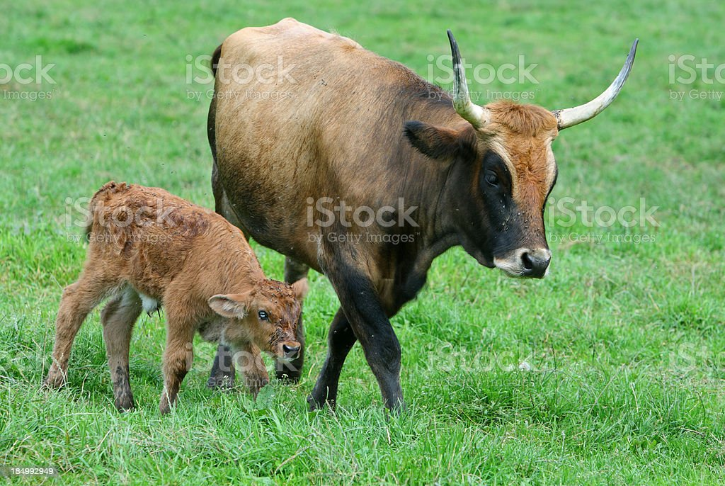 Brown Cow And Calf royalty-free stock photo