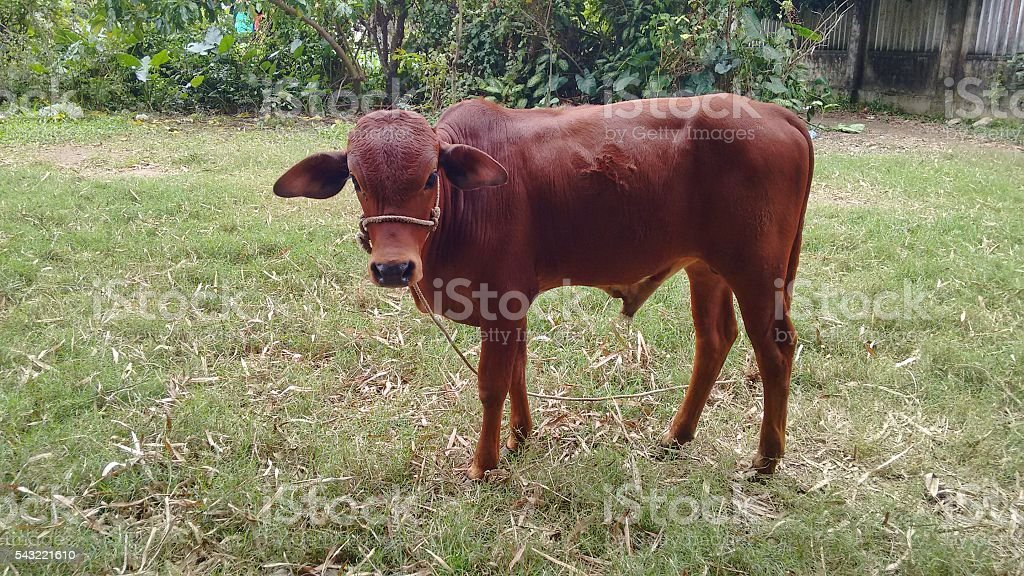 brown cow bull on green meadow stock photo