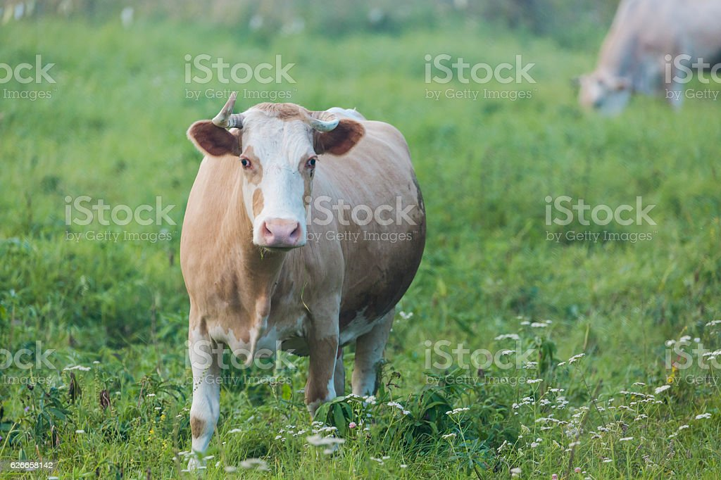Brown cow chewing grass on the green meadow stock photo