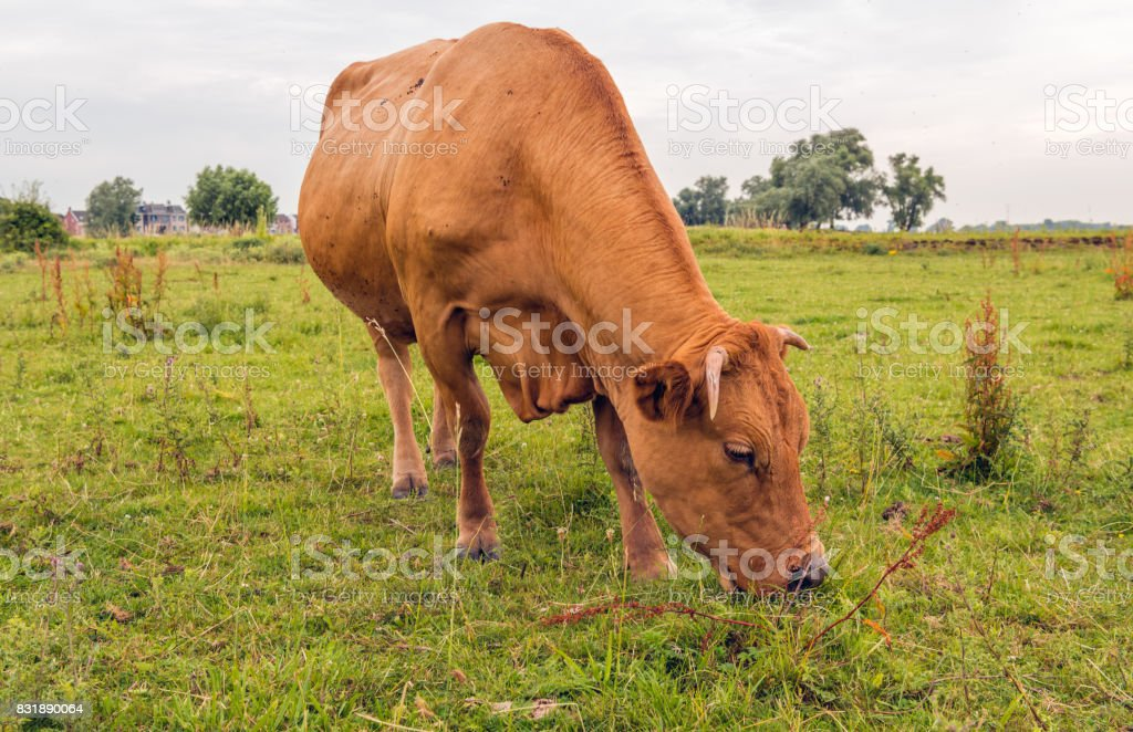 Brown cow eating grass in the floodplains of a Dutch river stock photo