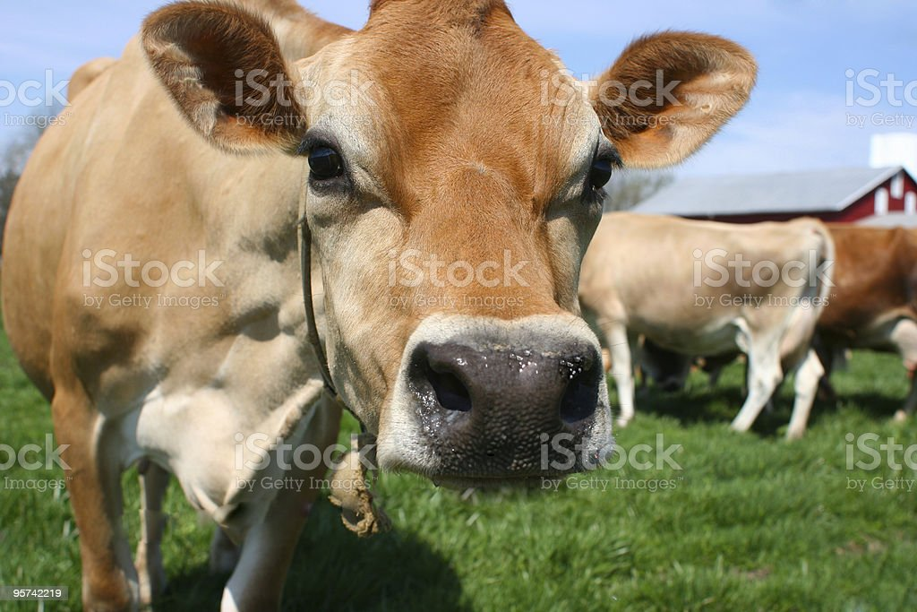 Brown cow in a field stock photo