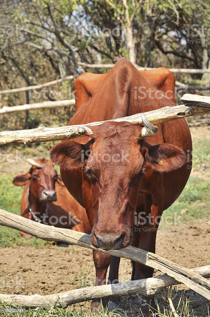 Brown cow in a pasture corral closeup royalty-free stock photo