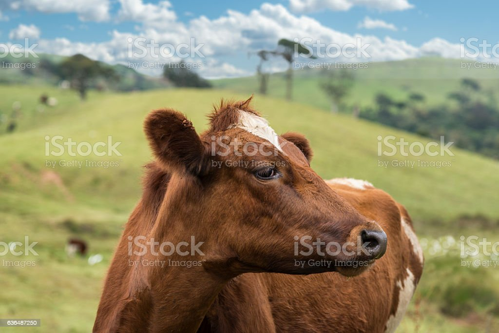 Brown cow in summer pasture stock photo