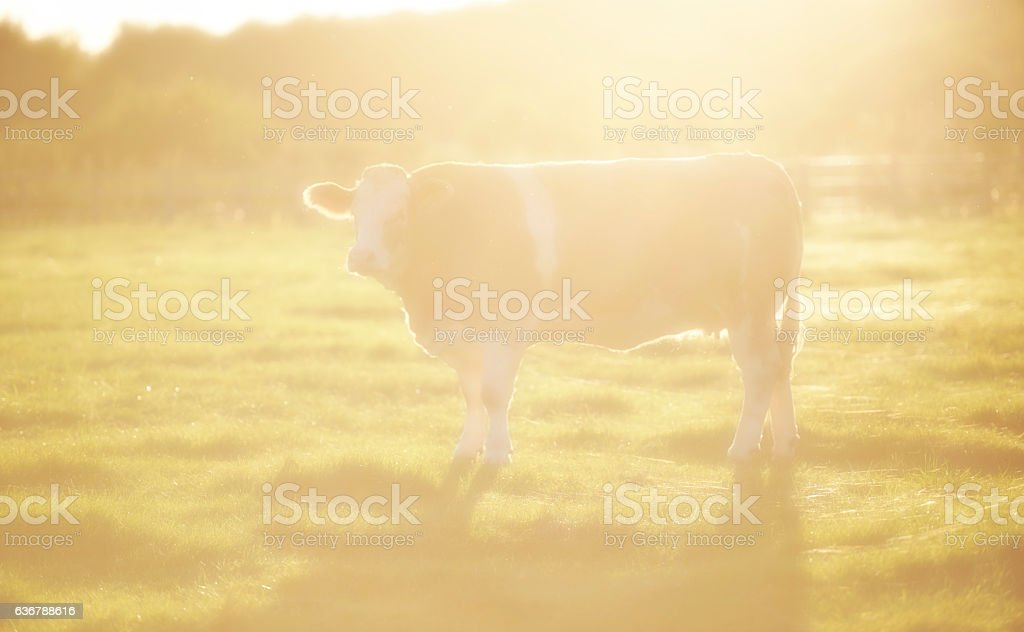 Brown cow in sunbeam stock photo