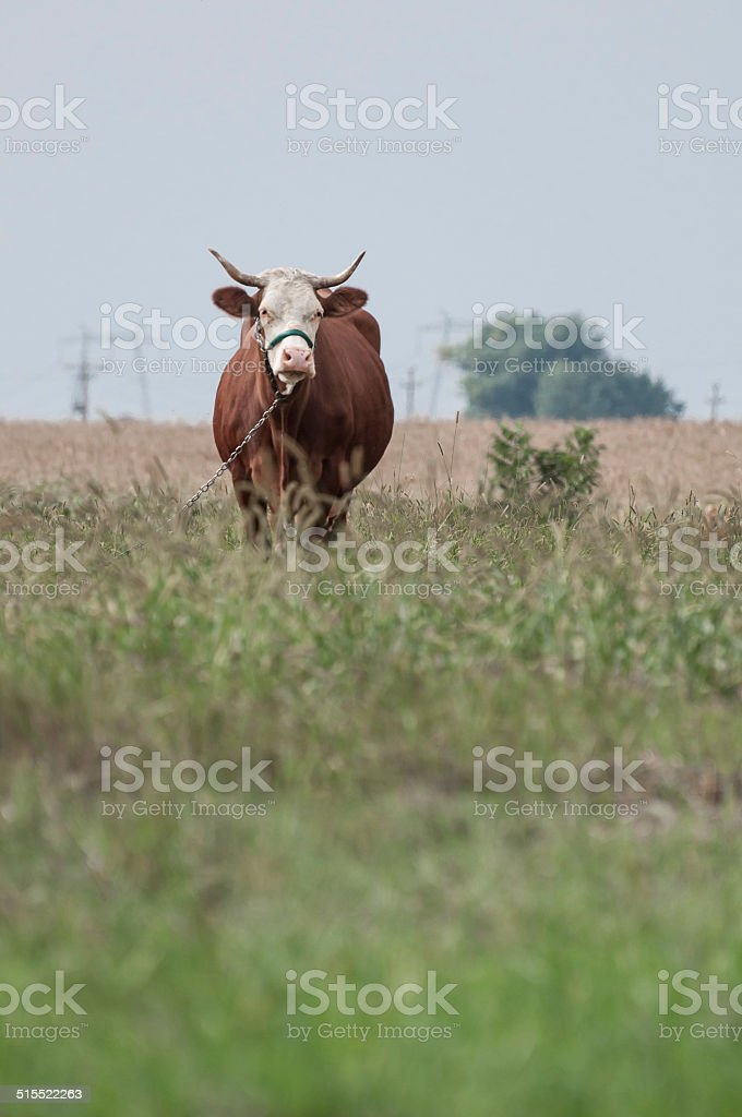 brown cow looking ahead and a corn field royalty-free stock photo