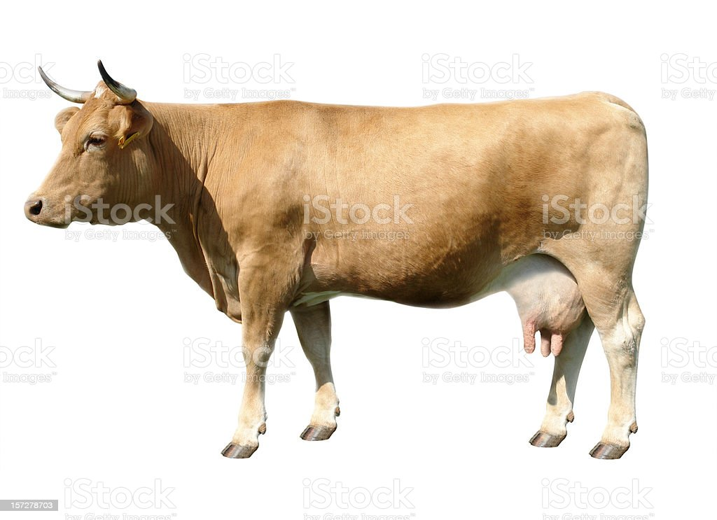 Brown Cow royalty-free stock photo