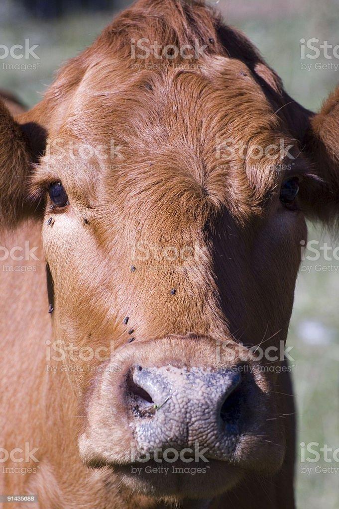 Brown Cow Portrait stock photo