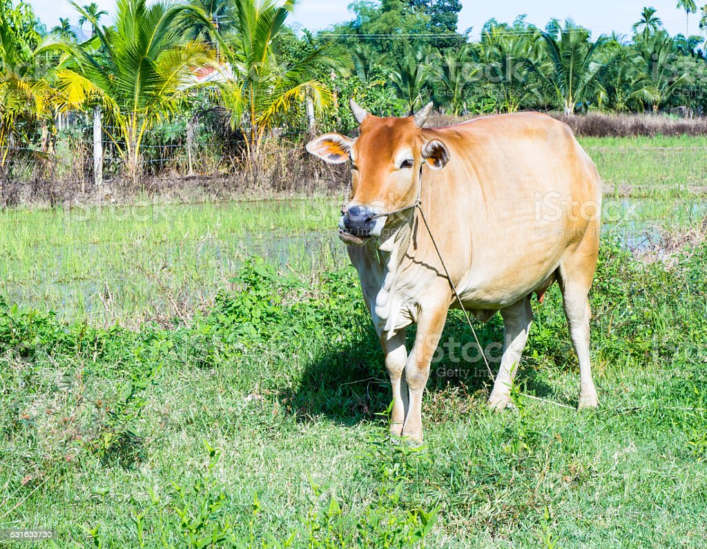 brown cow standing in a meadow. She chews grass. stock photo