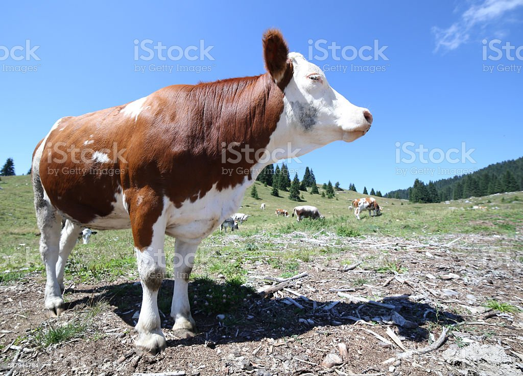 brown cow to high mountain pasture stock photo