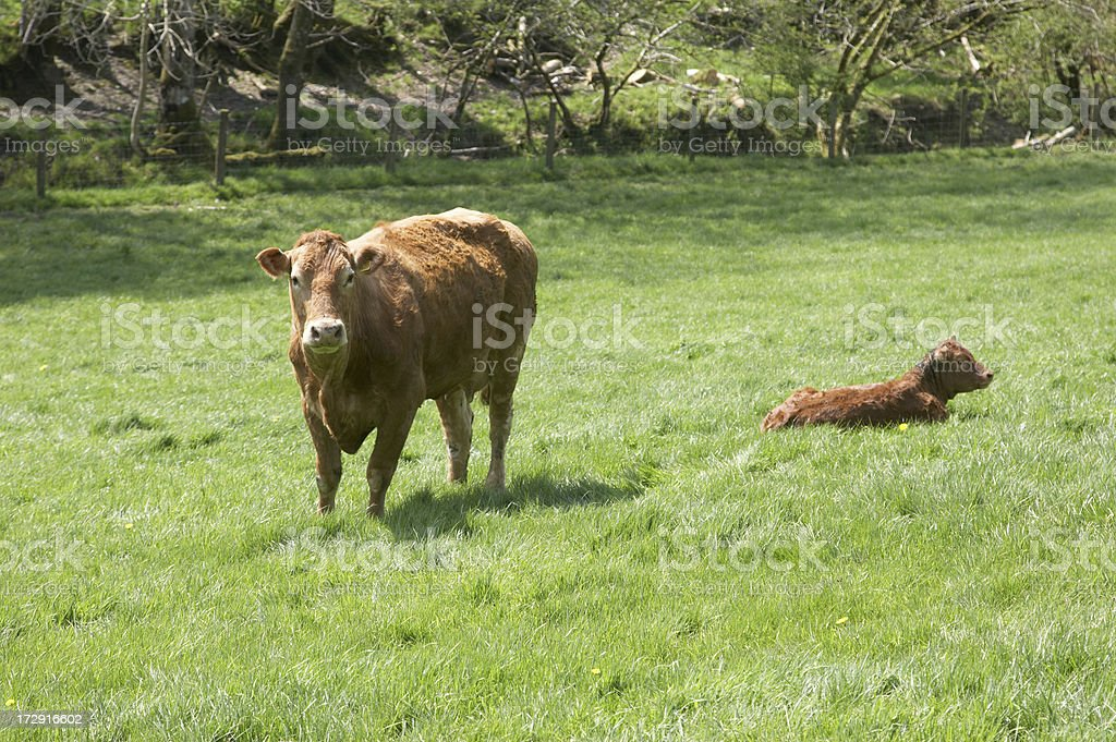 Brown cow with calf royalty-free stock photo