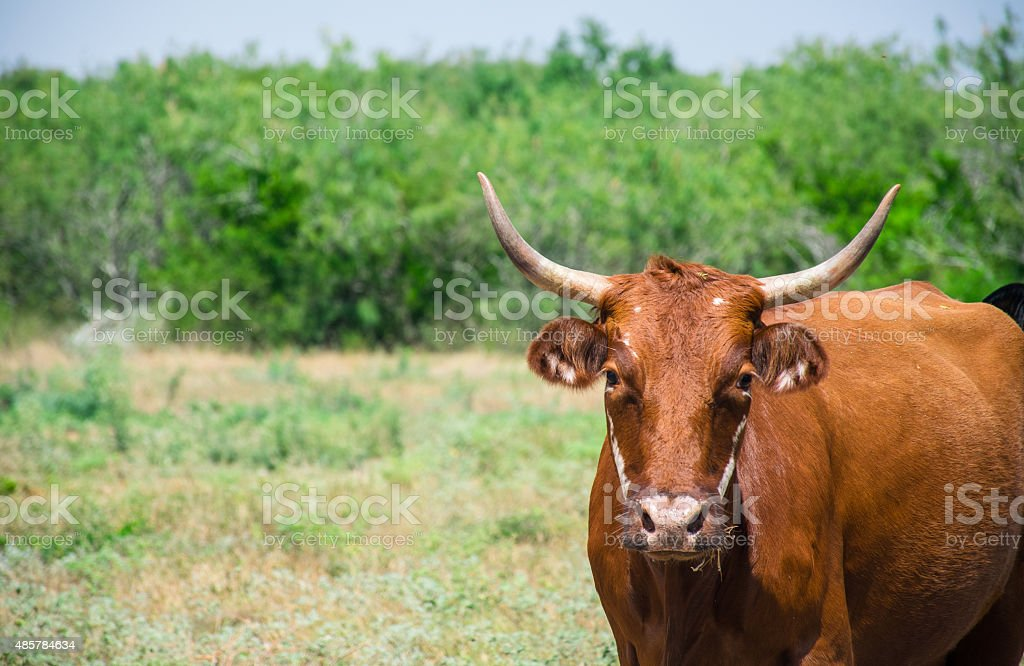 Brown Cow with Horns starring at the Camera stock photo