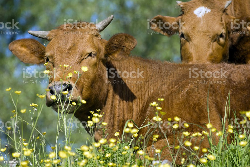 Brown cows and yellow flowers stock photo