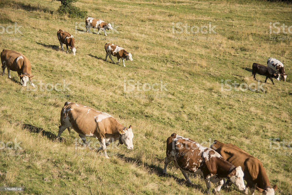 brown cows - K?he auf der Weide on Tegernsee Aueralm royalty-free stock photo