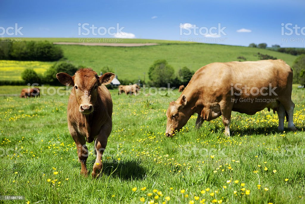 Brown cows grazing in a grass field with buttercups stock photo