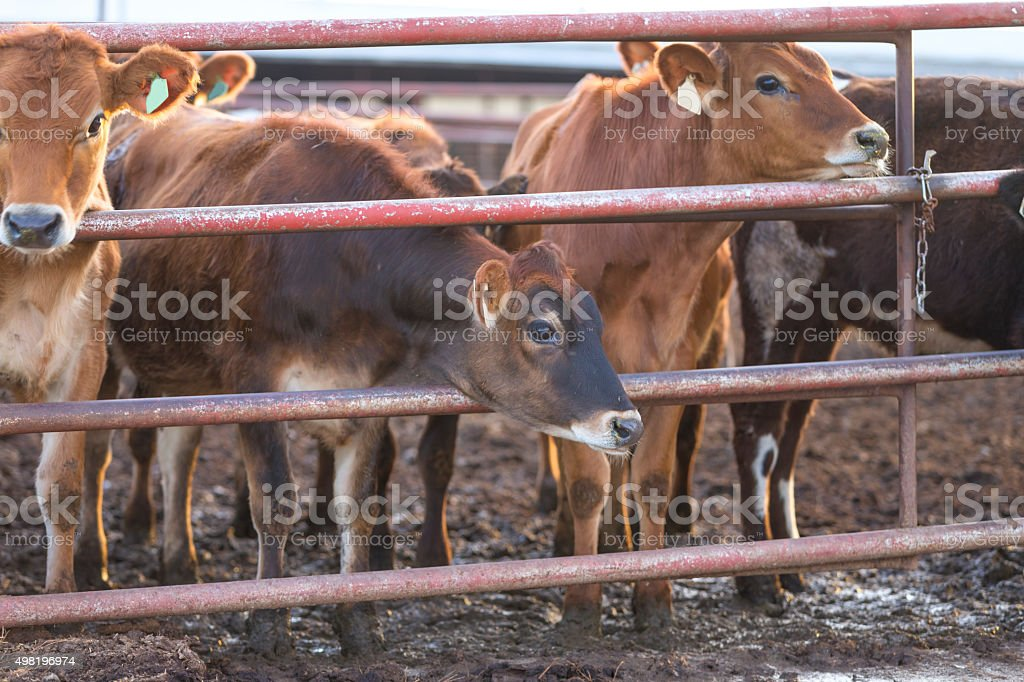 Brown cows in Central California stock photo