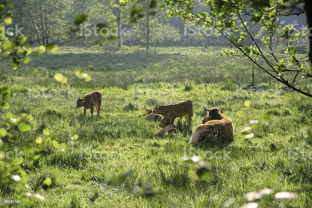 Brown cows in late afternoon royalty-free stock photo