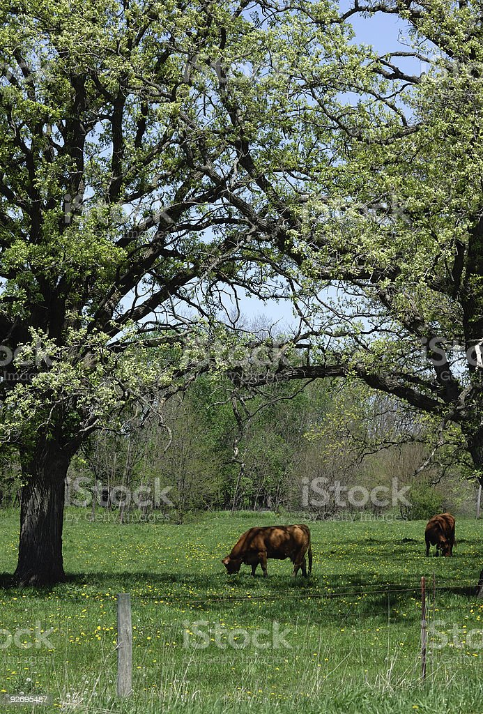 Brown Cows in the Shade royalty-free stock photo