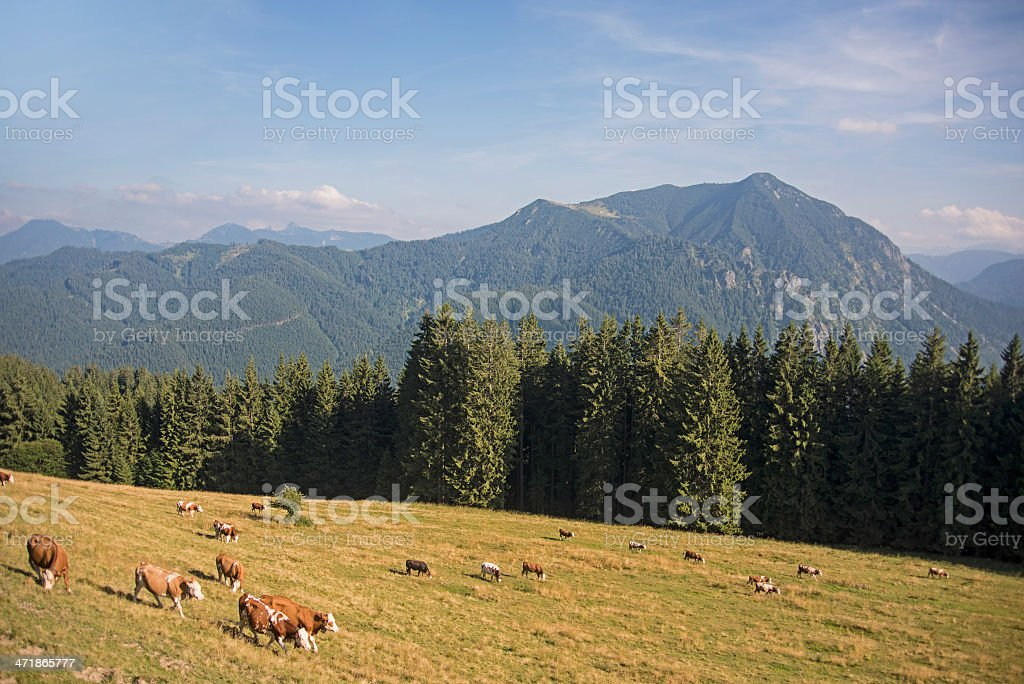 brown cows - K?he auf der Weide on Tegernsee Aueralm royalty-free stock photo