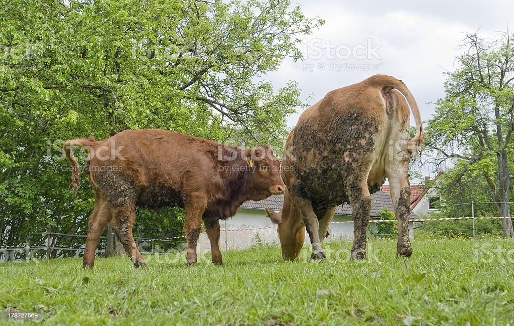 brown cows royalty-free stock photo