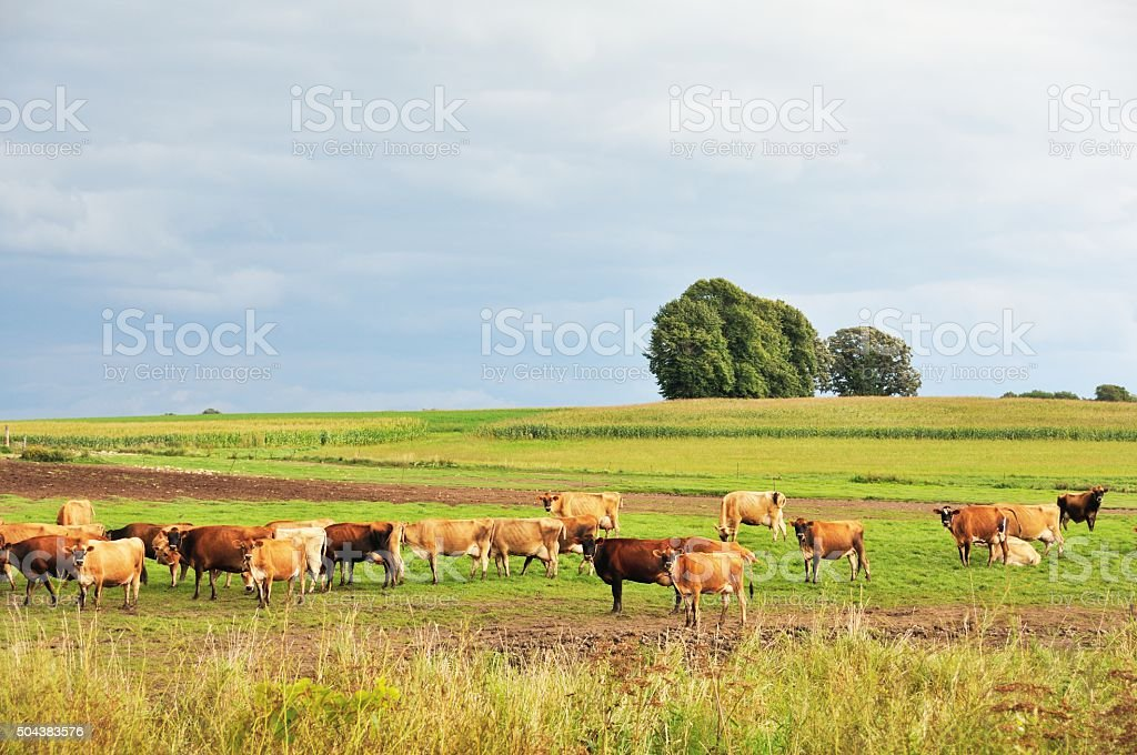 Brown Cows stock photo