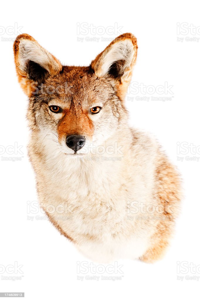 Brown coyote with fierce eyes on white background stock photo