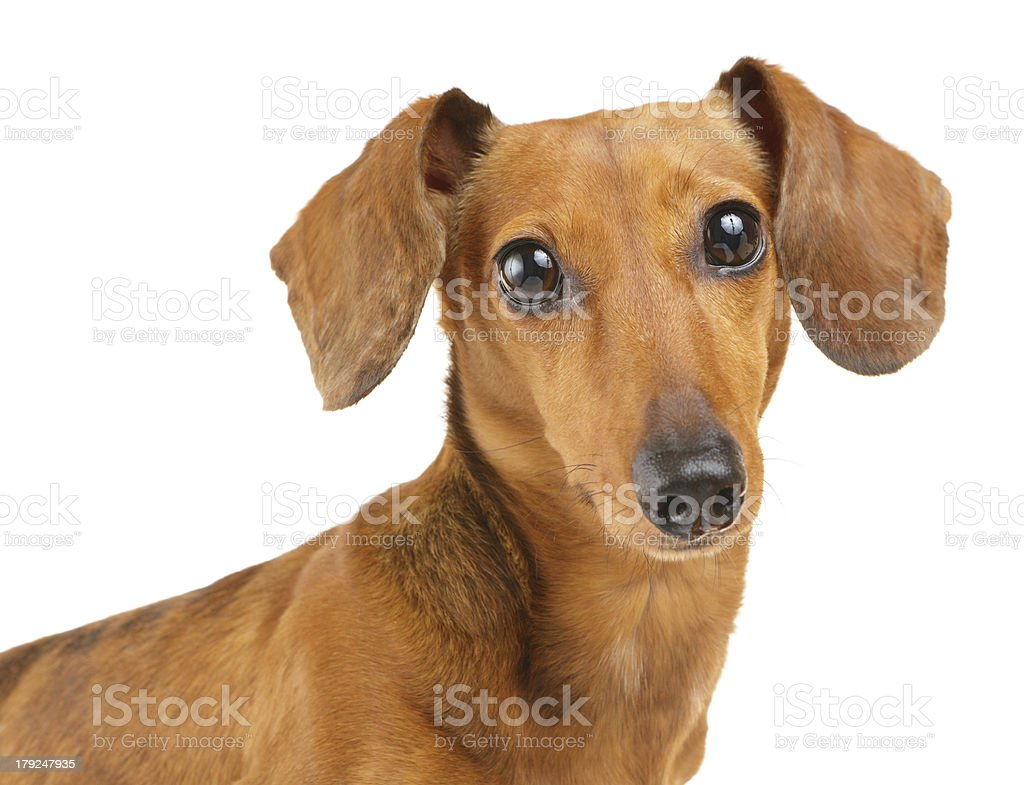 Brown dachshund dog isolated on white background royalty-free stock photo