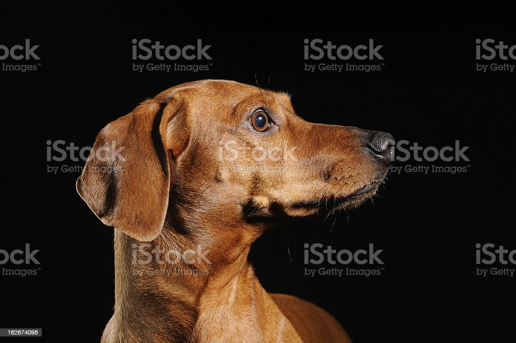 brown dachshund dog isolated over black background royalty-free stock photo
