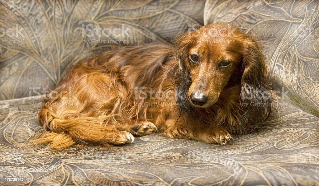 Brown dachshund royalty-free stock photo