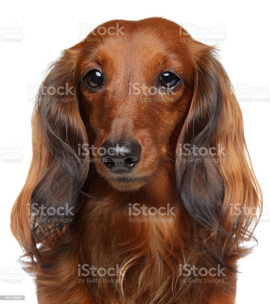 Brown Dachshund puppy on a white background royalty-free stock photo