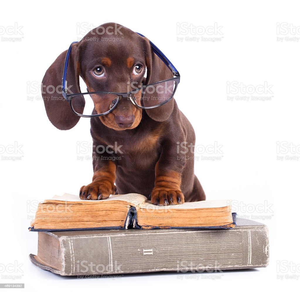 Brown Dachshund puppy wearing glasses and standing on books stock photo