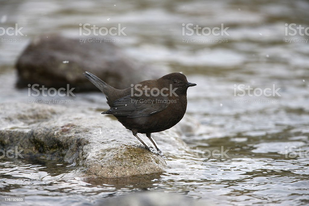 Brown dipper, Cinclus pallasii royalty-free stock photo