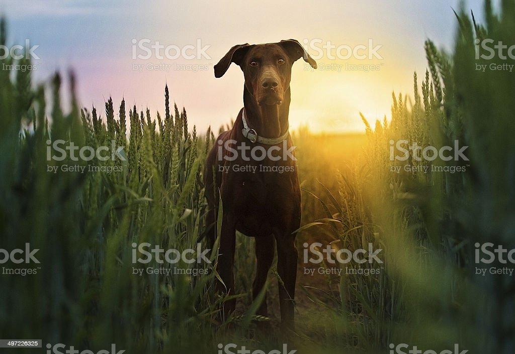 Brown doberman  dog at sunset nature stock photo