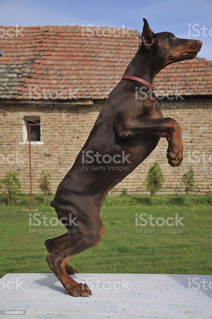 Brown Doberman stock photo