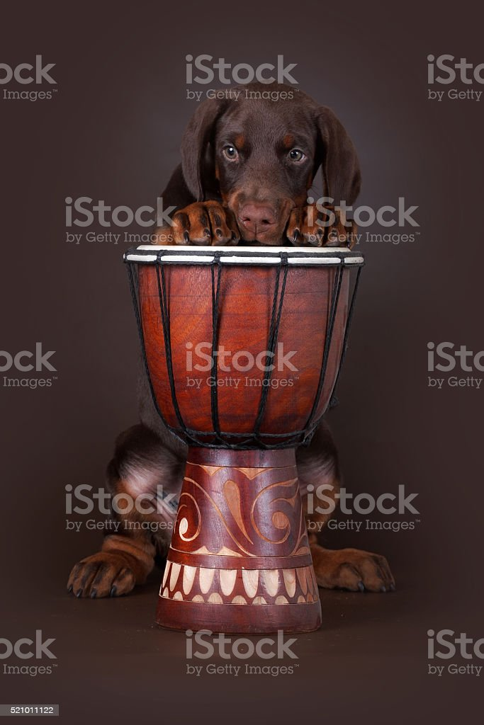Brown Doberman puppy put his paws up on the drum stock photo