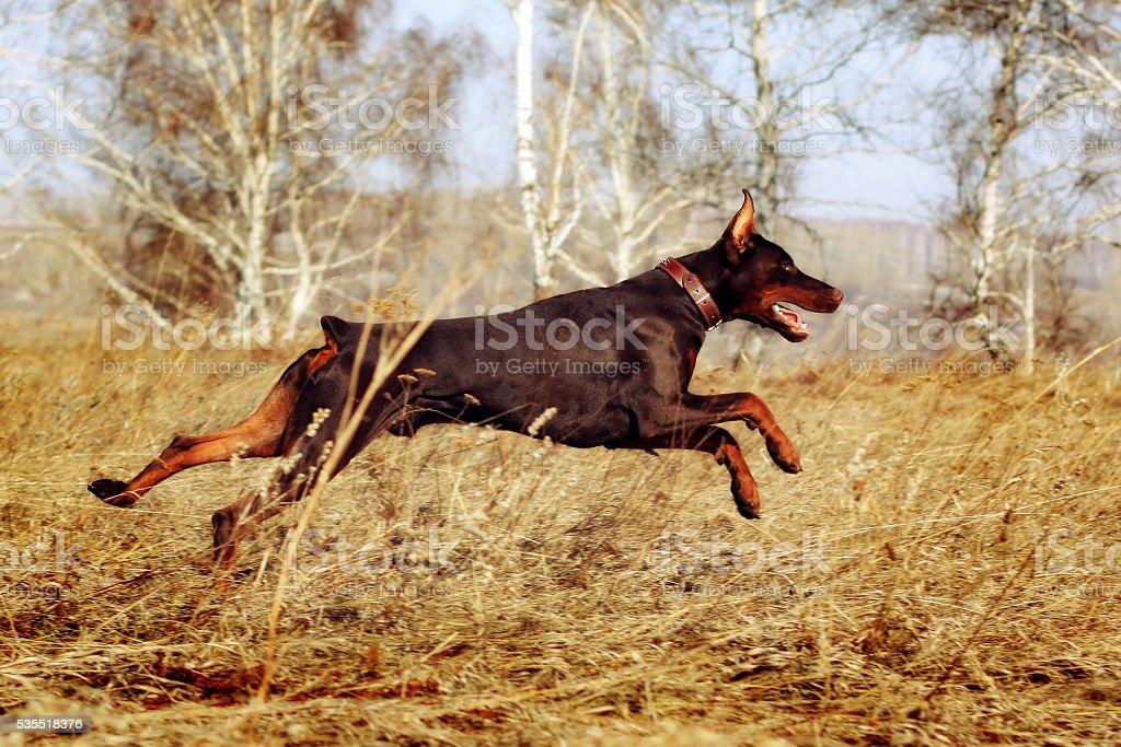 brown dog Doberman Pinscher runs gallop stock photo
