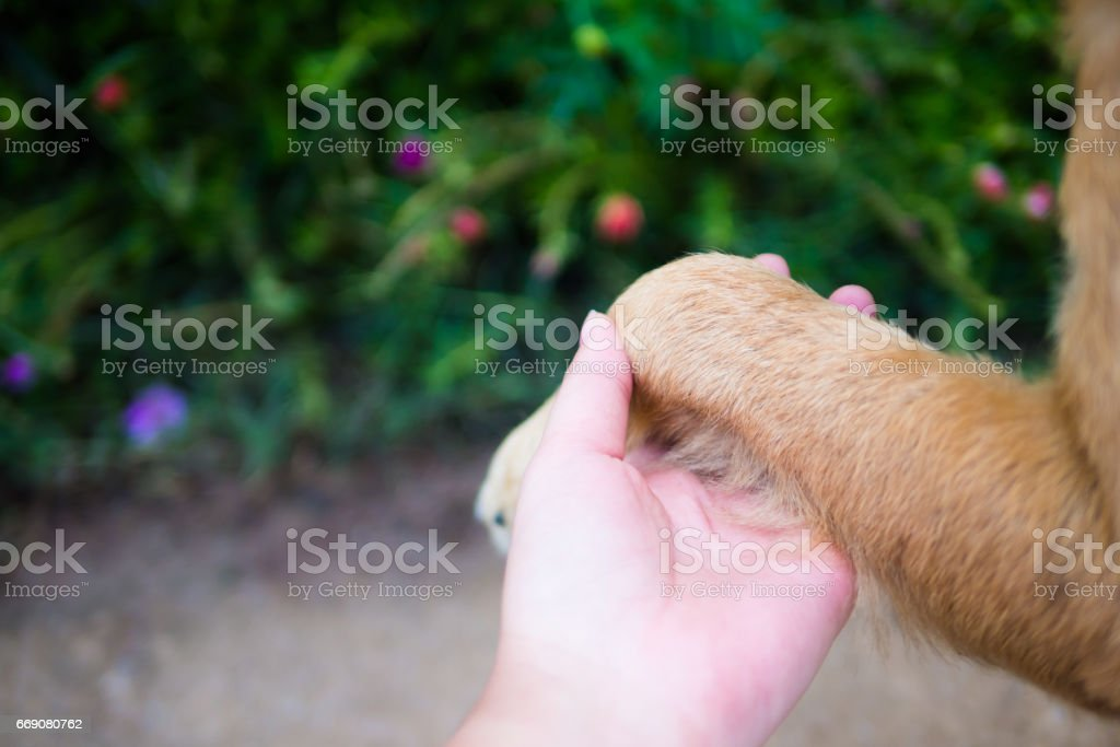 Brown dog give the hand for trust in human stock photo