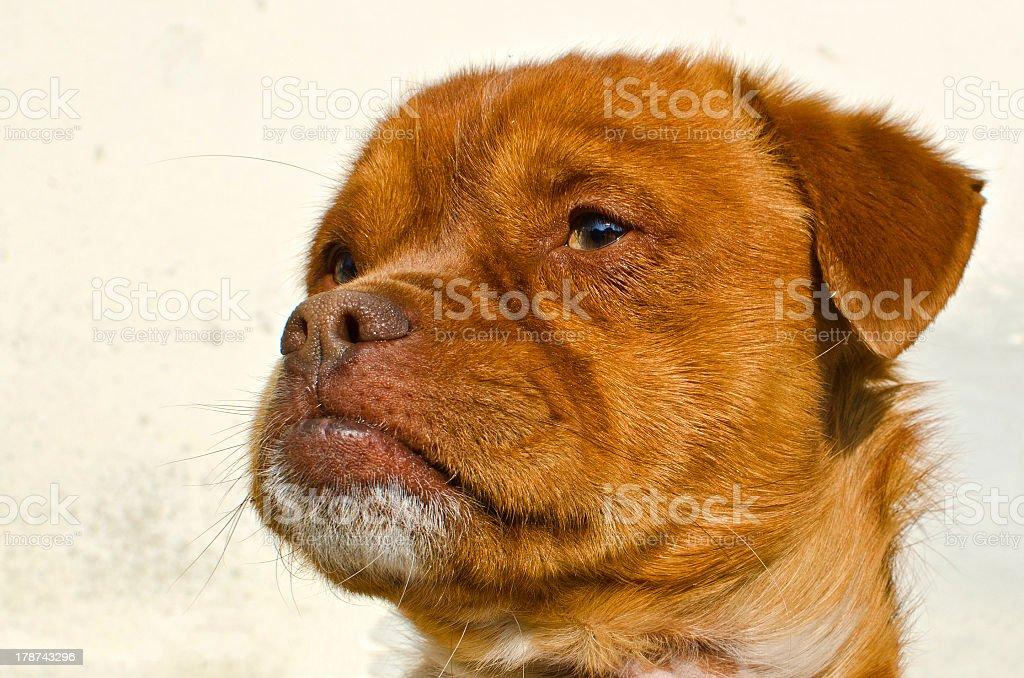 brown dog head royalty-free stock photo